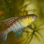"Simpsonichthys aff. fulminantis ""NHvdBB 2013/8"""