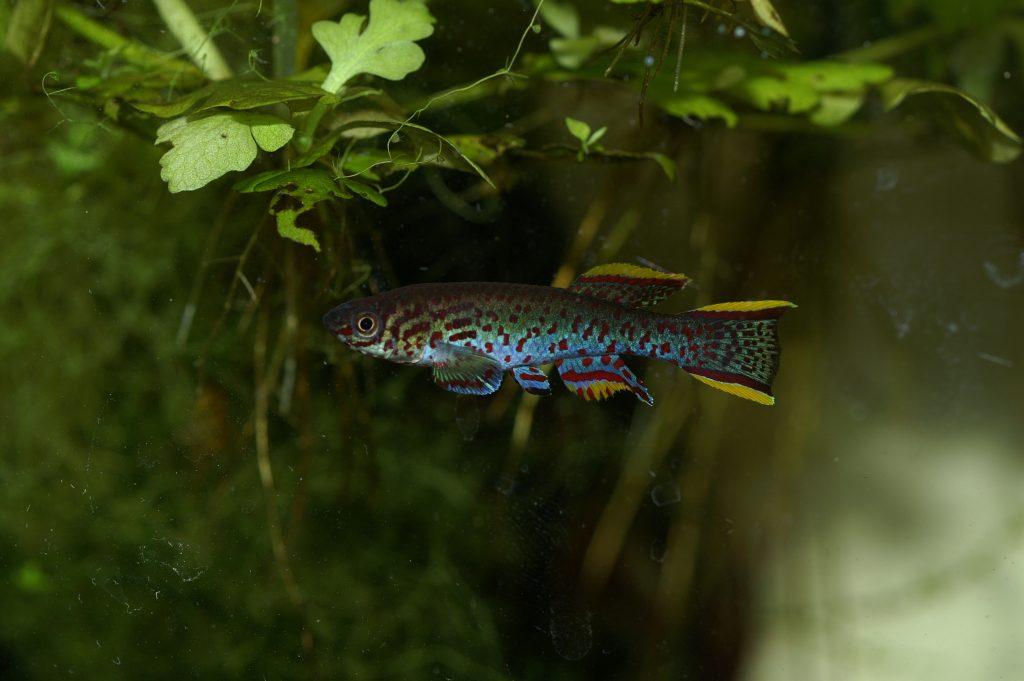 Fundulopanchax nigerianus Innidere