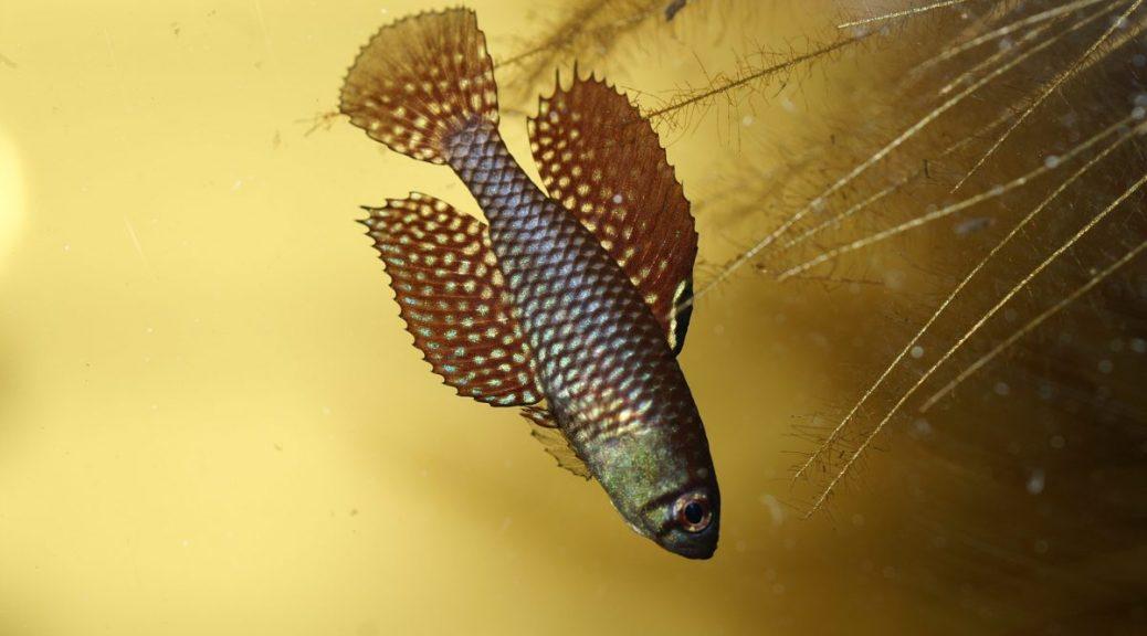 """Simpsonichthys reticulatus """"Xingu"""""""