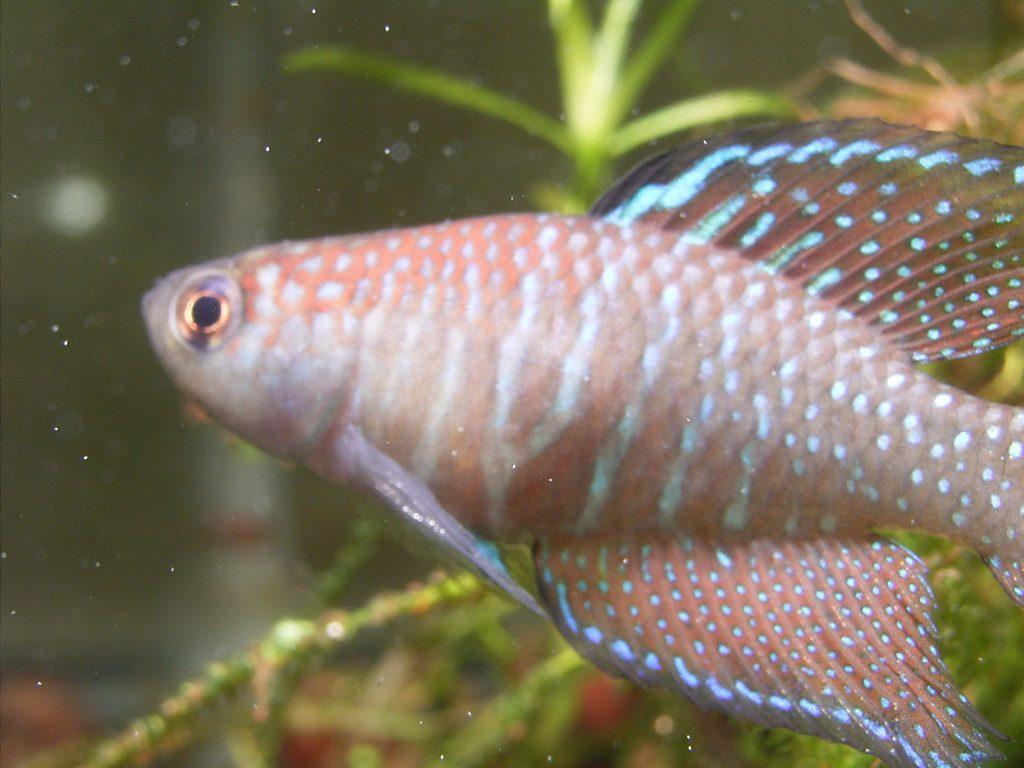Simpsonichthys marginatus