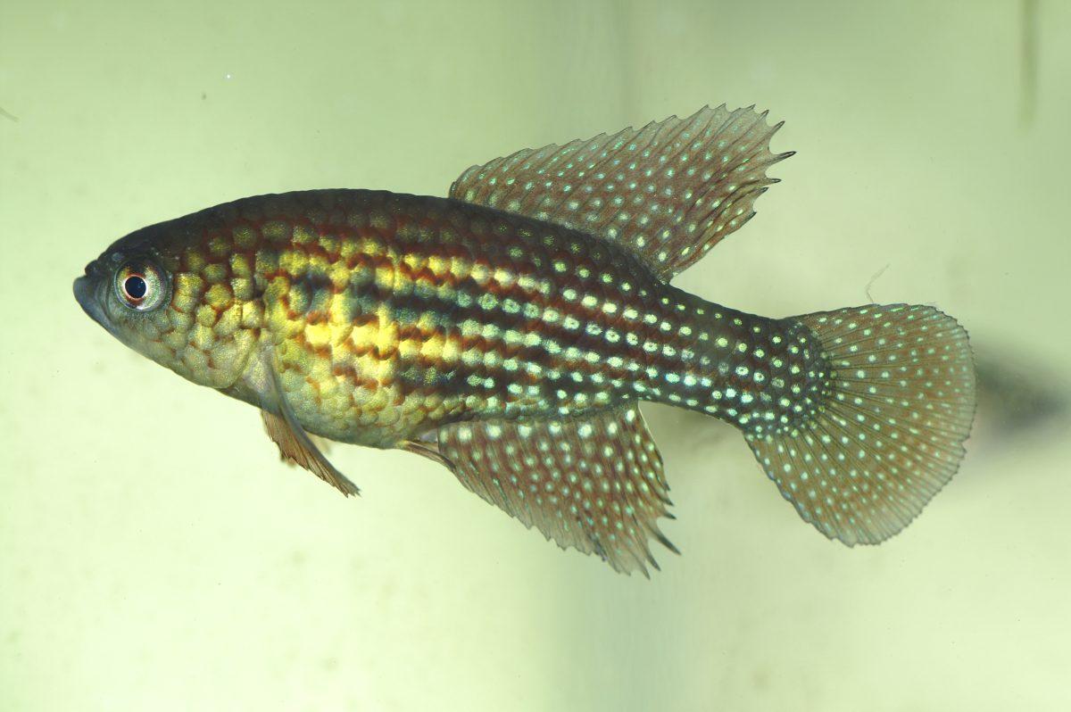 "Simpsonichthys trilineatus ""Jao Pinheiro"""