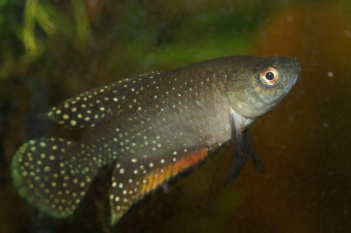 "Simpsonichthys antenori ""Limoeiroad Norte RDB 06-16"""