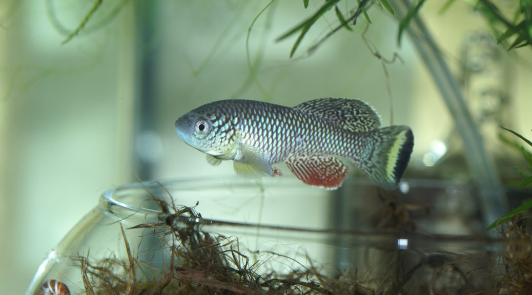 "Nothobranchius furzeri ""Mamzimechopes River MOZ 04/13"""