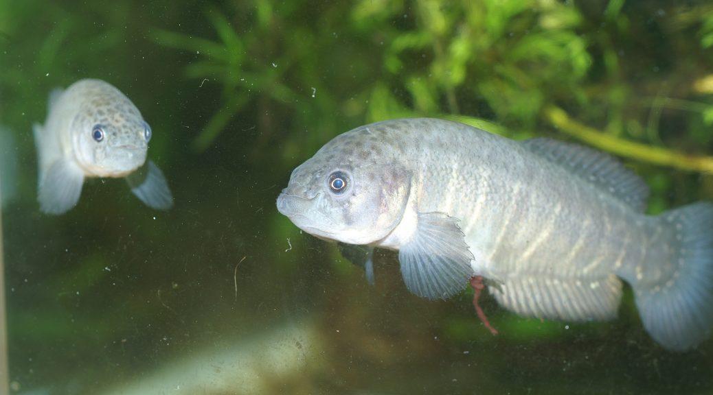 """Austrolebias cheradophilus """"Ruta 9/254"""""""