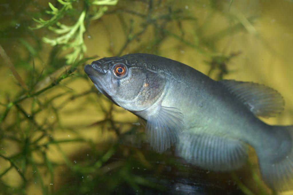"""Austrolebias elongatus """"La Aguada, Ezeiza DOMASA2004"""""""