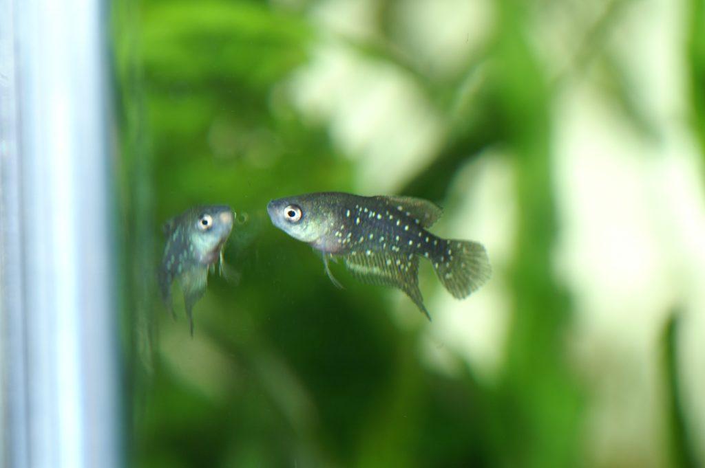 """Simpsonichthys chacoensis """"SunJuan PAR94-36"""""""