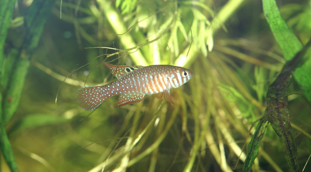 Simpsonichthys santanae