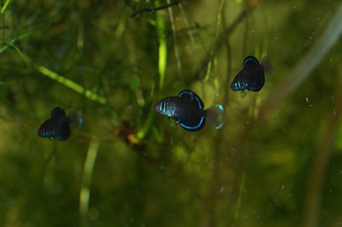 "Simpsonichthys costai ""Formoso de Araguaia B2003"""