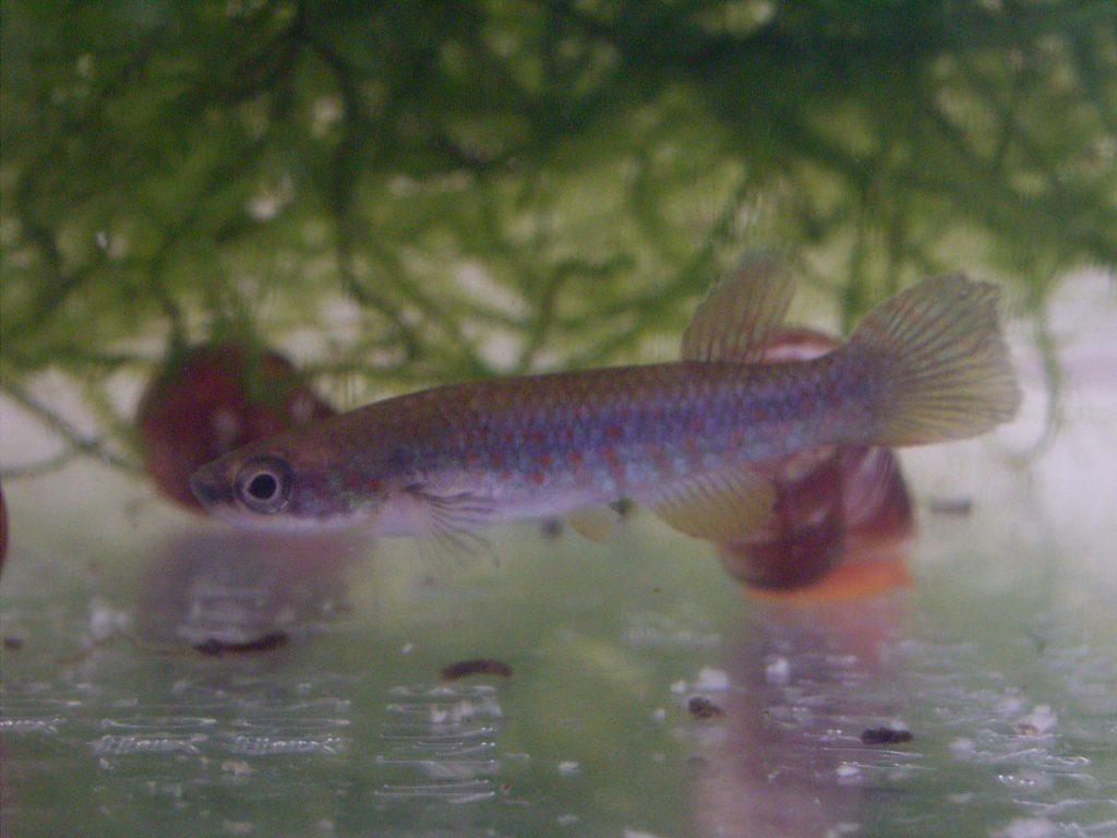 Rivulus sp. Amapari