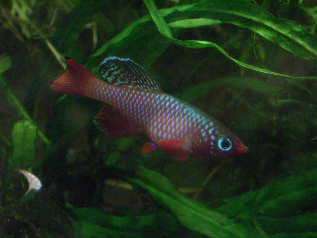 "Nothobranchius sp. aff. rubripinnis ""Mbwemkuru River KTZ 85-28"""