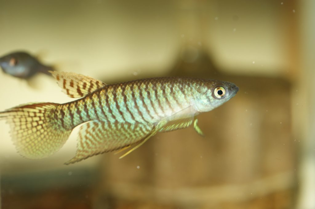 Gnatholebias zonatus Las Mercedes VEN 2014-01